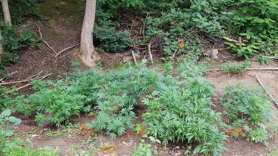 Cannabispflanzen auf einer Waldlichtung in Neuss