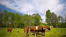 Kühe grasen auf einer Weide