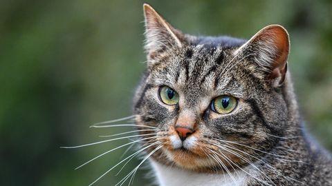 Foto einer Hauskatze