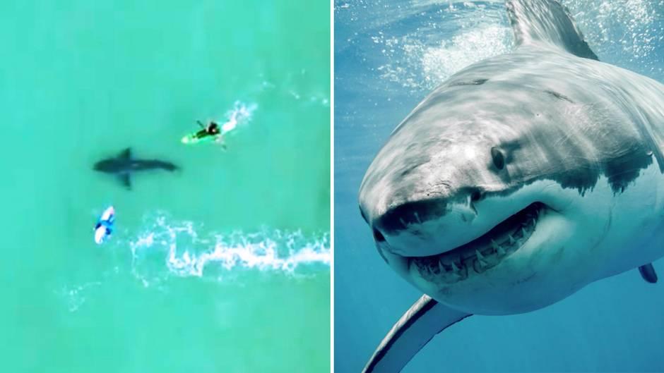 Ein Weißer Hai kommt einer Gruppe Surfer bedrohlich nahe.