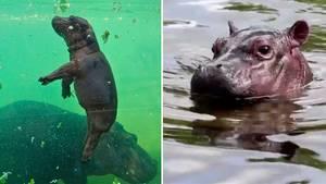 Frankreich: Süßes Flusspferd-Baby Gloria lernt schwimmen