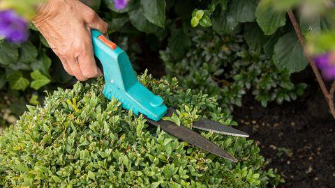 Buchsbaum schneiden und pflegen: Schere wird zum Schnitt an einem Buchs angesetzt