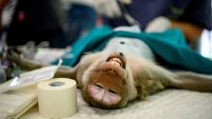 Lopburi: Regierung in Thailand lässt Hunderte Affen sterlisieren