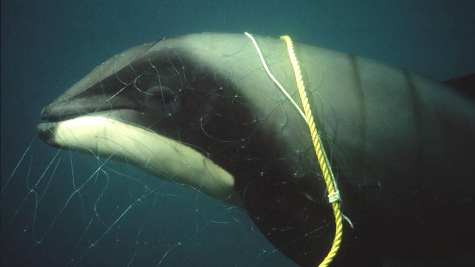 Ein Delfin mit Fangleine und Fangnetz schwimmt im Meer