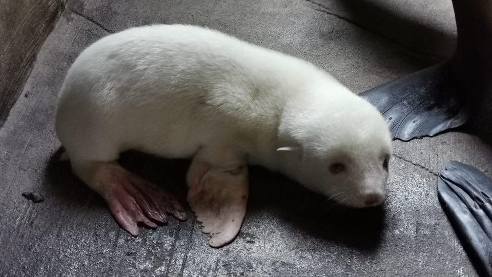 Nachrichten aus Deutschland – Albino-Seelöwenbaby in Hamburg geboren