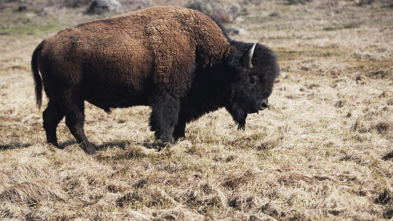 Männliche Bisons können bis zu 900 Kilogramm schwer werden