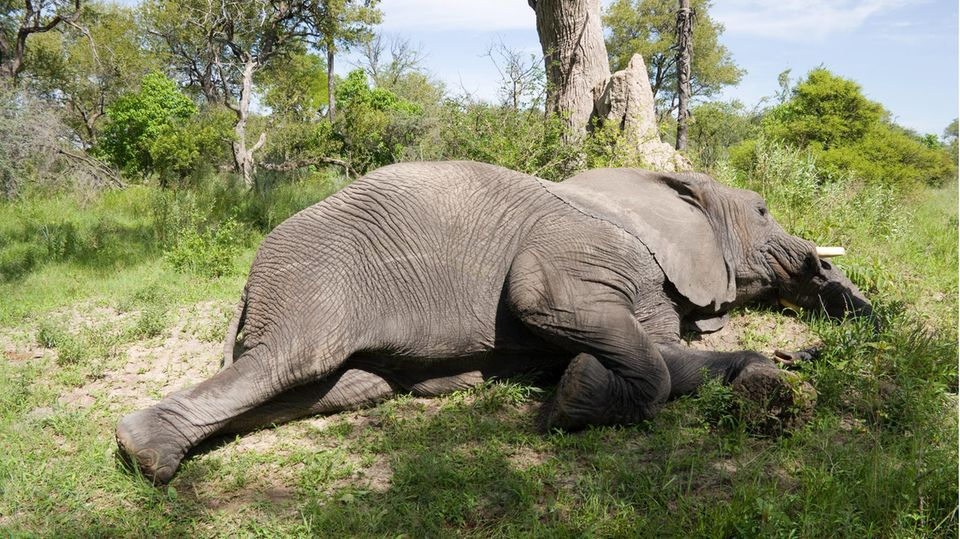 Schlafender Elefant in Botswana
