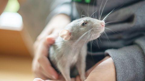 Ein Junge hält eine Ratte