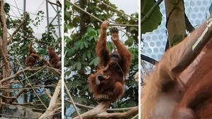 Der Zoom ist beeindruckend. Mit der 3x-Linse holt man die Orang-Utan-Mama und ihr Junges in Hagenbeks Tierpark bereits sehr nah heran, beim 10x-Zoom steht sie quasi vor einem - ohne, dass die Bildqualität leidet. Vergrößert man auf 100x sieht das schon anders aus: Vom Affen-Säugling sind nur noch einige Pixel zu erkennen.