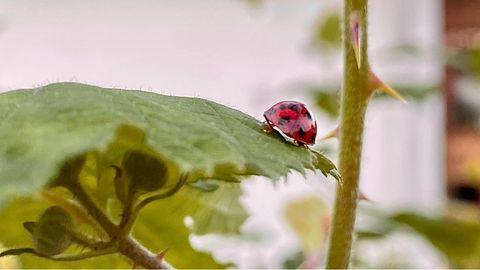 Schädlingsbekämpfung: Mit dem Frühling kommen die Blattläuse. Mein Versuch: Marienkäfer aus dem Internet