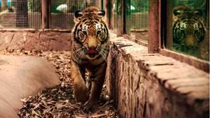 Ein bengalischer Tiger in einem Zoo-Gehege in Mexiko