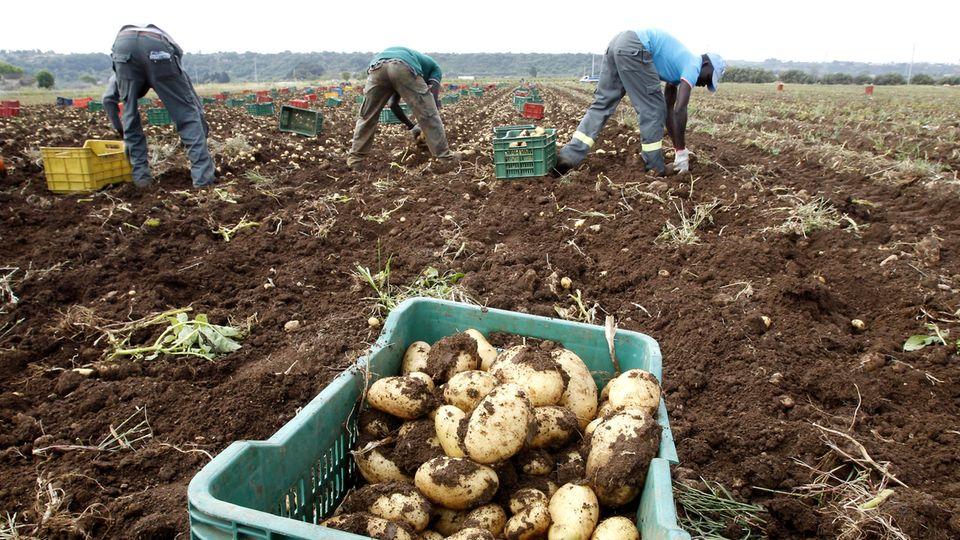 """Landwirtschaft: Schuften auf Italiens Feldern: """"Das grenzt an Sklaverei"""", sagt der Arbeiterführer"""