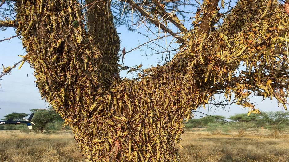 Kenia, Lodwar: Heuschrecken ruhen auf einem Baum