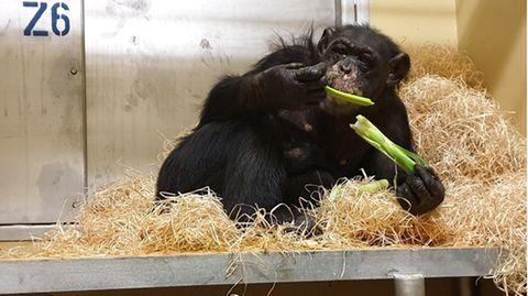 Schimpansen-Weibchen Bally erholt sich im Krefelder Zoo von den Folgen des Brandes in der Silvesternacht. Doch ihre Zukunft ist ungewiss