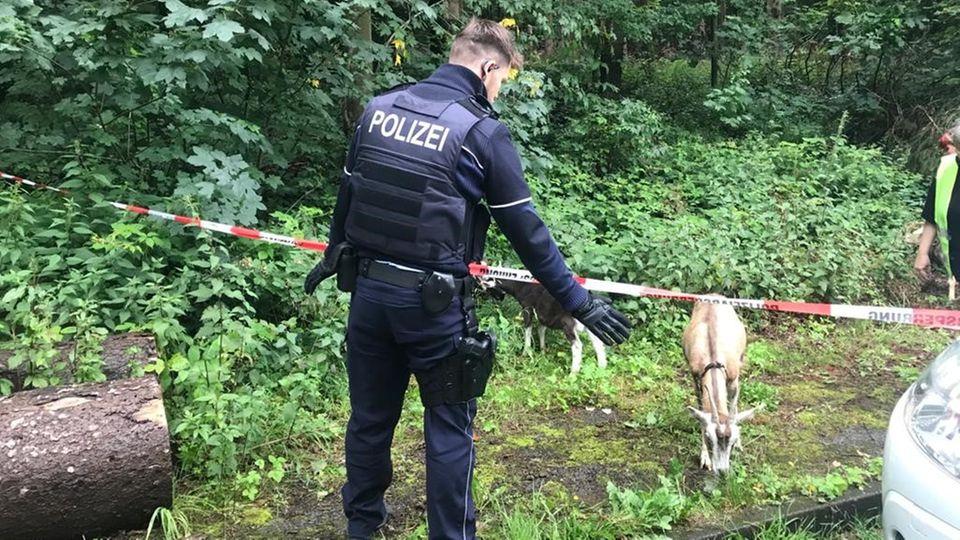 Nachrichten aus Deutschland – Freilaufende Ziegen in Iserlohn