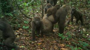 Gorillas in Nigeria