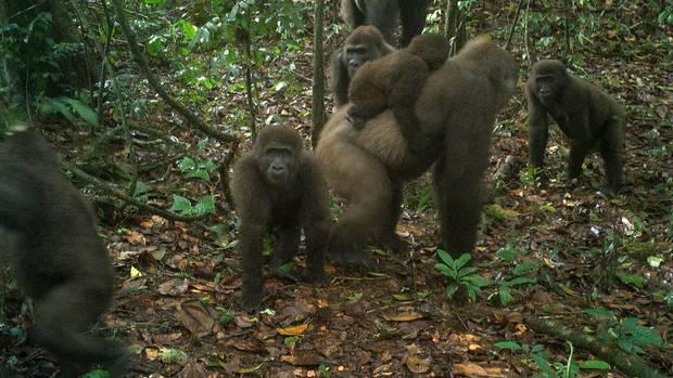 Gorillas in Nigeria