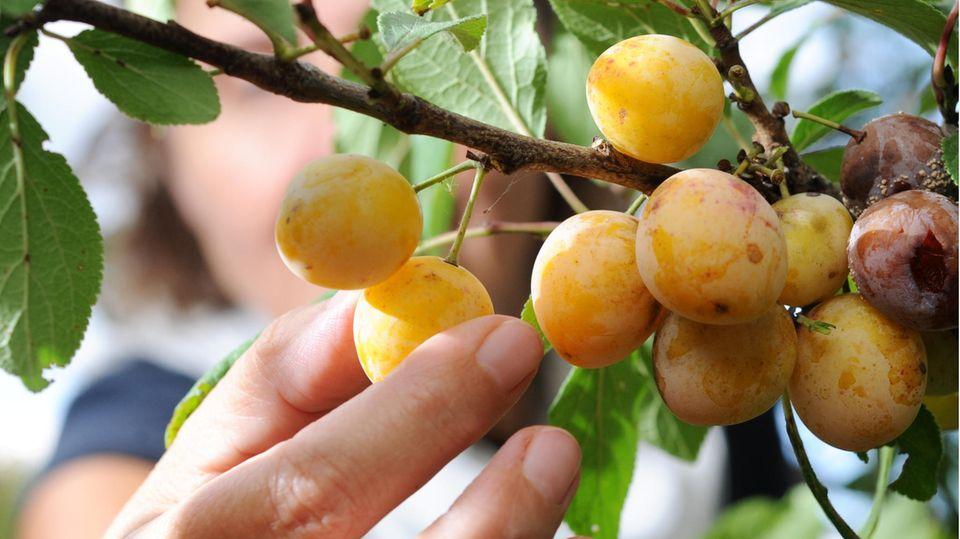 Eine Hand greift nach Mirabellen vom Baum
