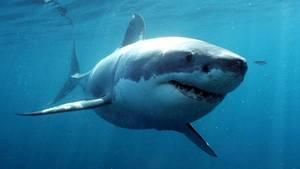Ein großer Weißer Hai
