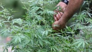 Ein Cannabis-Feld in Indien