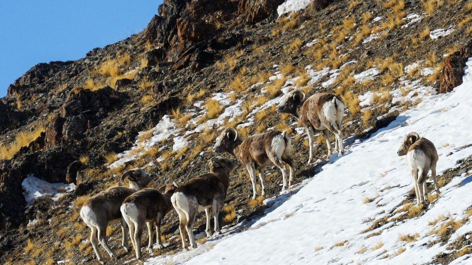 Altai-Argali-Schafe