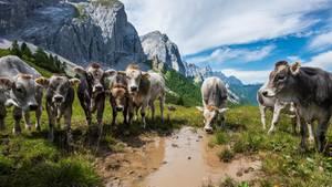 Kühe stehen auf einer Alm in den Alpen