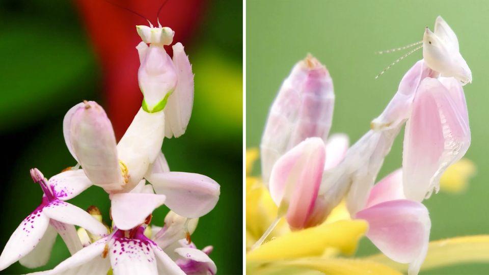 Kronenfangschrecke: Die Orchideenmantis verblüfft zahlreiche Twitter-Nutzer