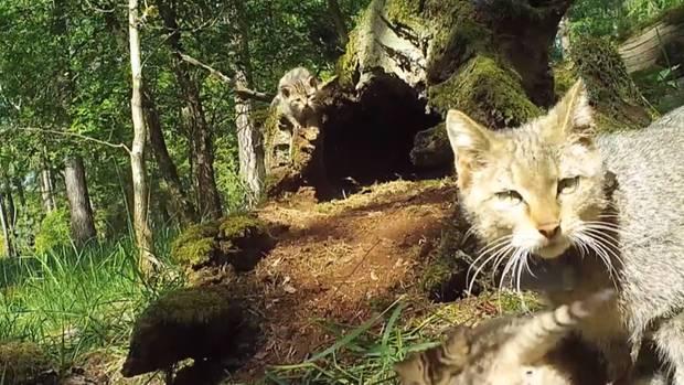 Sachsen-Anhalt: Eine Wildkatzen-Mutter verteidigt ihre Jungen vor einem angreifenden Wolf
