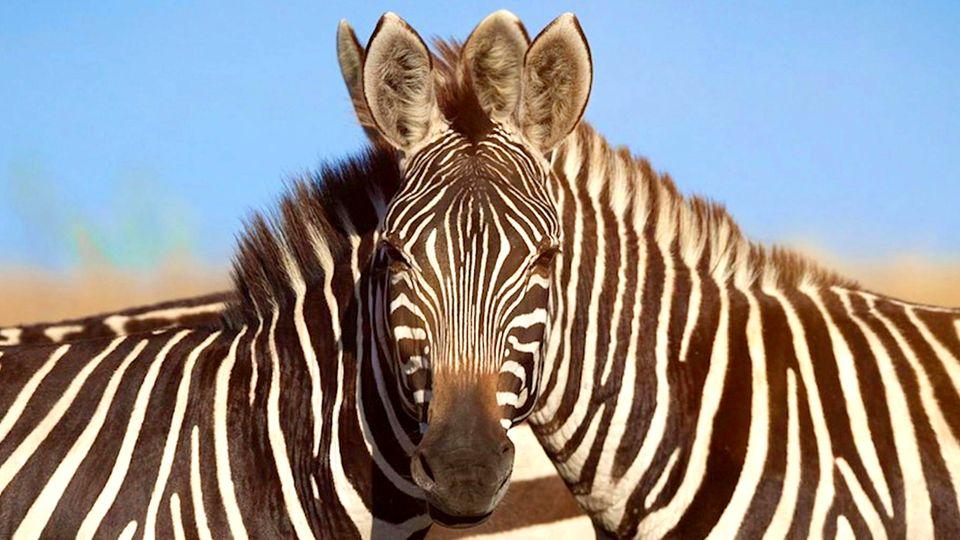 Optische Illusion: Welches Zebra blickt in die Kamera?