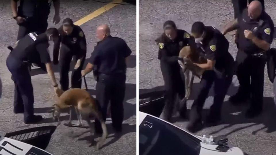 US-Polizisten haben ein Känguru eingekreist und heben es in ein mit offener Hintertür bereitstehendes Polizeiauto