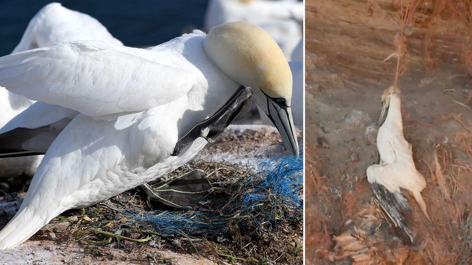 Basstölpel von Helgoland gefährdet: Immer mehr Plastikmüll in Nestern
