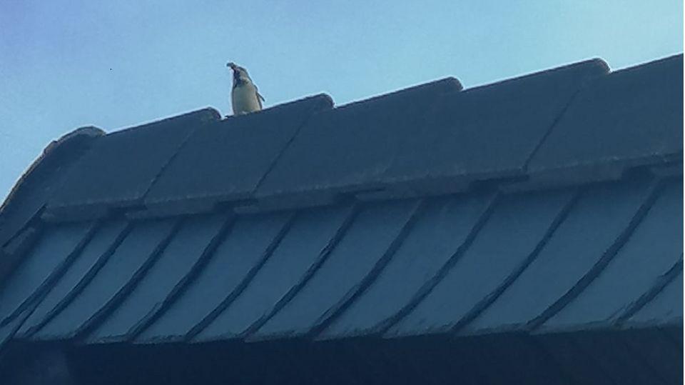 Pinguinartiger Vogel auf dem Dach eines Wohnhauses in Pillig