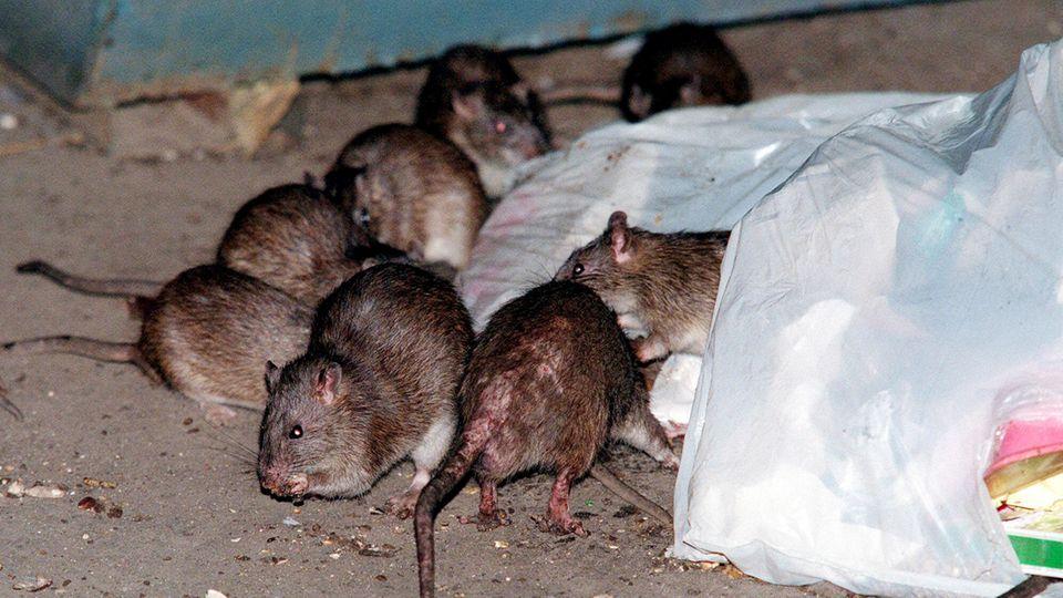 Ratten fressen Müll