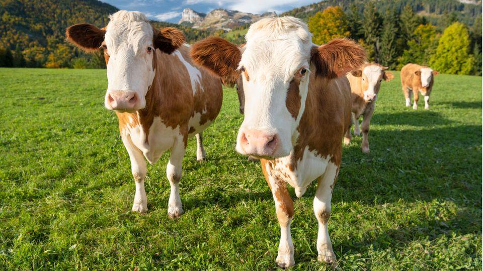 Österreich gibt Verhaltensregeln für Almwanderer gegenüber Kühen raus