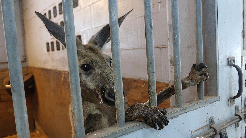 Das eingefangeneKänguru schaut durch die Gitter eines Stalls in der Station der berittenen Polizei