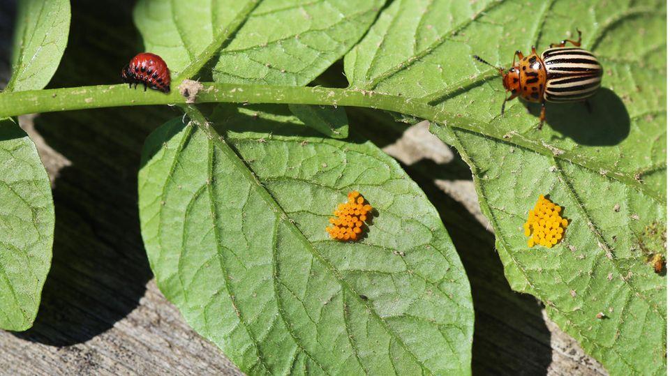 Colorado-Käfer mit Larven und Eiern
