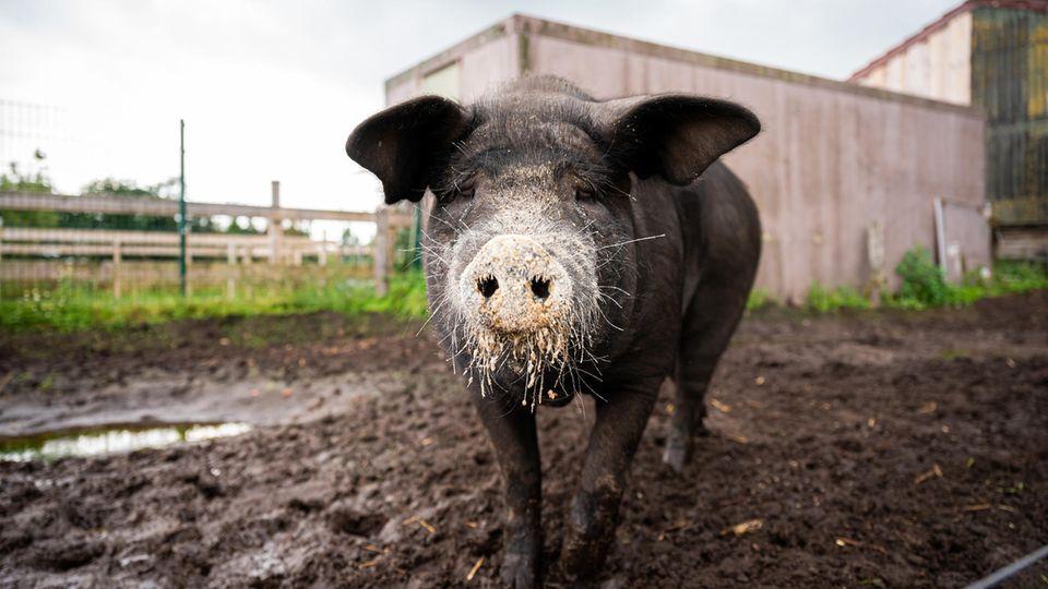 Instagram-Schwein Bobby
