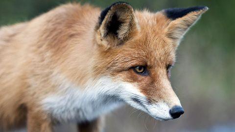 Schuhdiebstahl in Berlin: Fuchs hortet rund 100 Exemplare