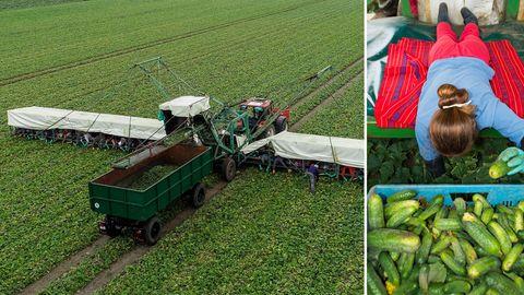 """Gemüsehof in Mamming: Ansteckung auf sogenannten """"Gurkenfliegern""""?"""