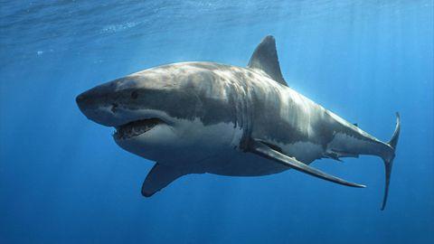 Ein Weißer Hai im Meer