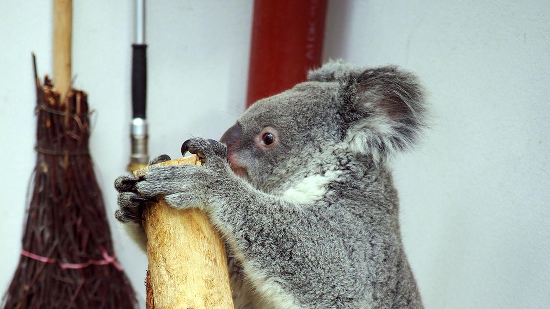 Das drei Jahre alte Koala-Weibchen Mandie auf der Waage