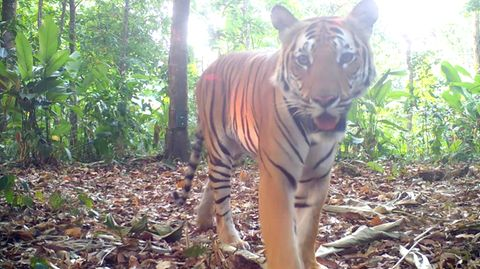 Tiger in Thailand