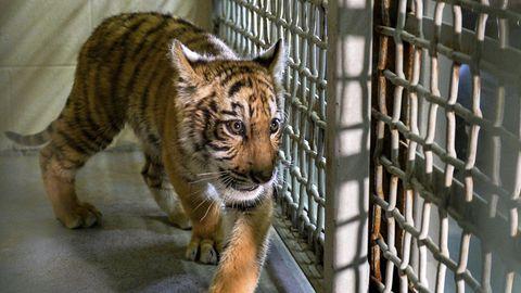 Ein junger Tiger in einem US-Zoo