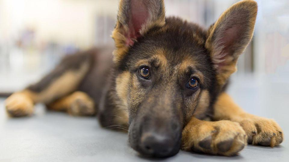 Erster auf Corona-Infektion getesteter Hund in den USA verstorben