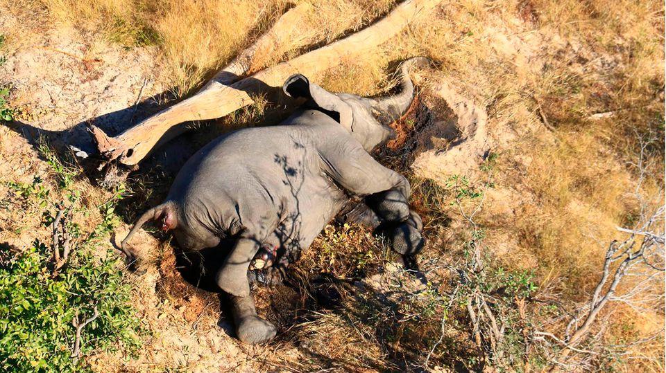 Ein toter Elefant liegt in Botsuana in einem Gebüsch