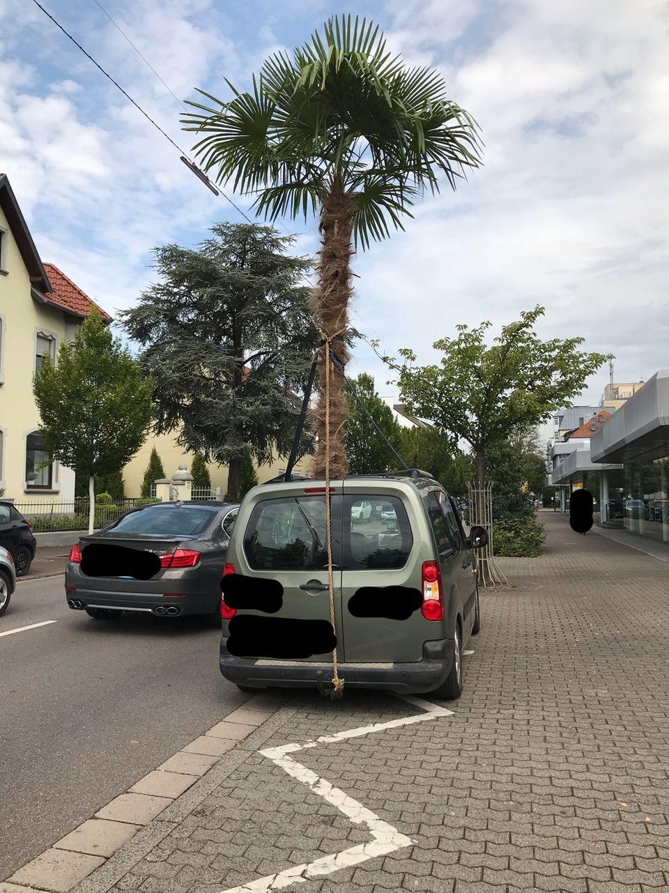 Nachrichten aus Deutschland – Saarländer transportiert meterhohe Palme im Auto