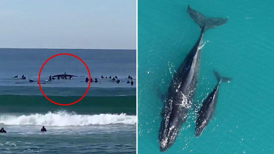 Ein Wahl der Südkaper-Art und sein Kalb schwimmen rund zehn Meter von Surfern entfernt am Manly Beach in Sydney.