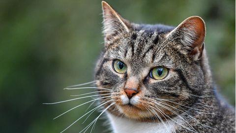 In Sri Lanka ist eine Katze dazu benutzt worden,für Häftlinge Drogen und SIM-Karten für Mobiltelefone zu schmuggeln