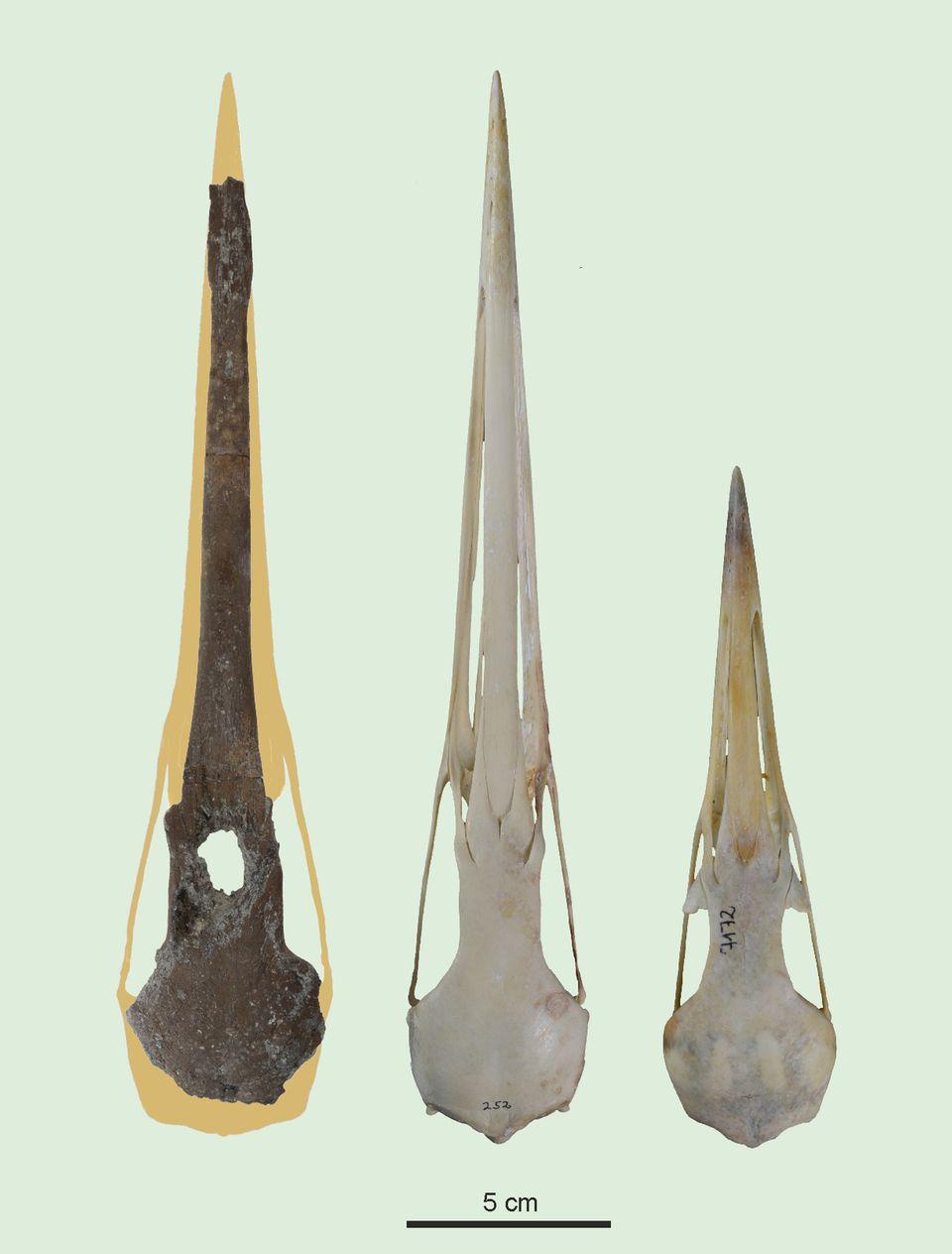Schädel im Vergleich: Kranich aus der Fossilfundstelle Hammerschmiede (l), Sibirischer Kranich (M) und Eurasischer Kranich.