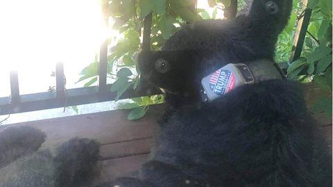 Dieses Foto von einem Schwarzbären mit einem Trump-Aufkleber auf dem Halsband wurde von einer Frau aus der US-StadtAsheville aufgenommen